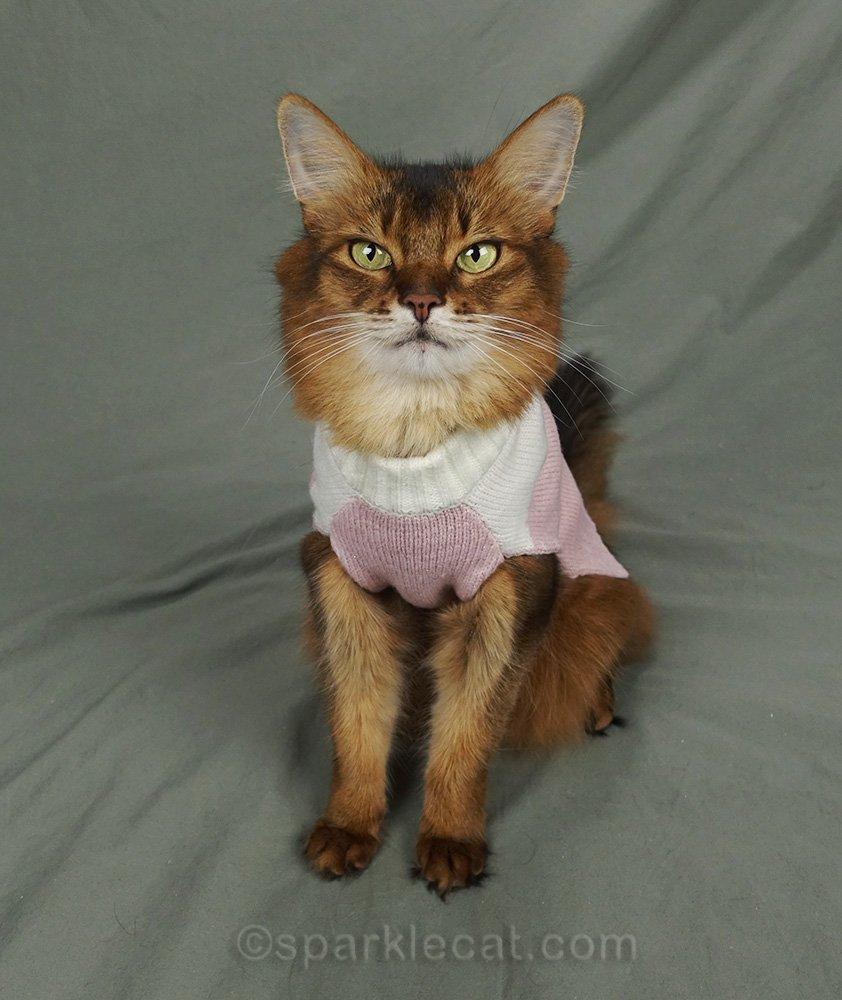 somali cat wearing pink and white sweater