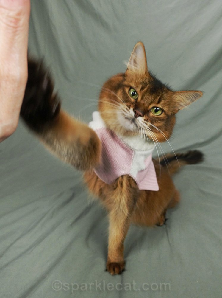 somali cat in pink and white sweater, giving a high five