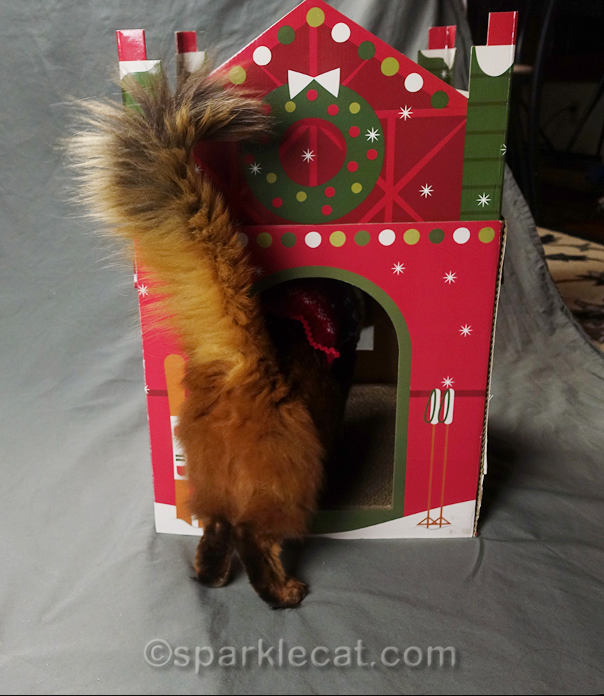 somali cat going into cat chalet