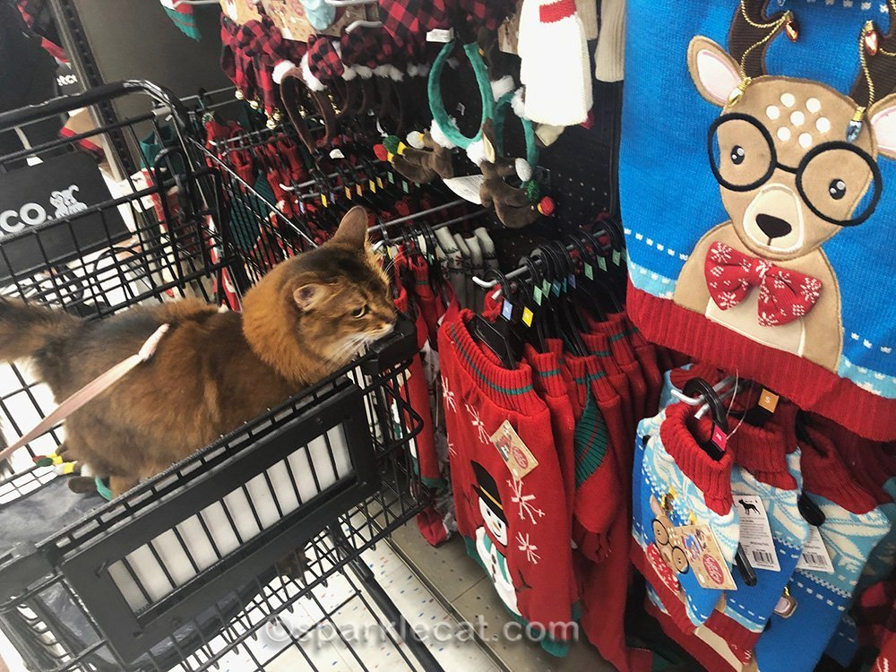 somali cat sneering at ugly pet sweaters
