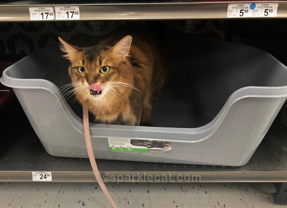 somali cat making tongue-out face in pet store litter box