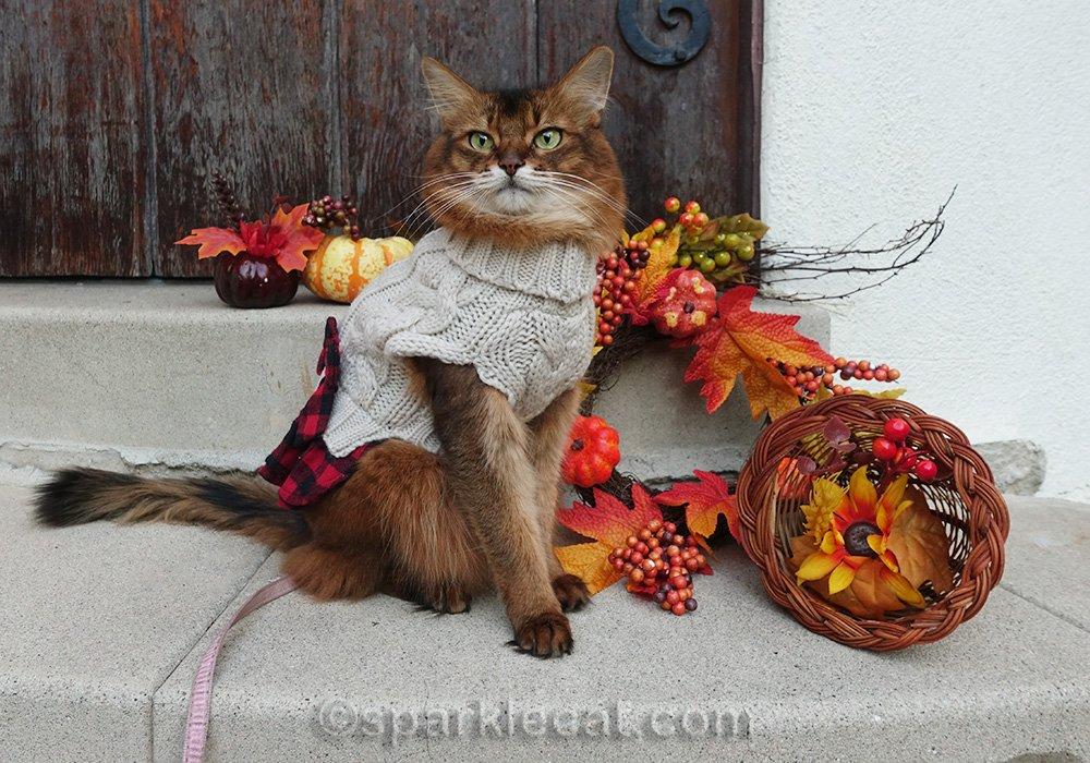 somali cat posing with fall decor
