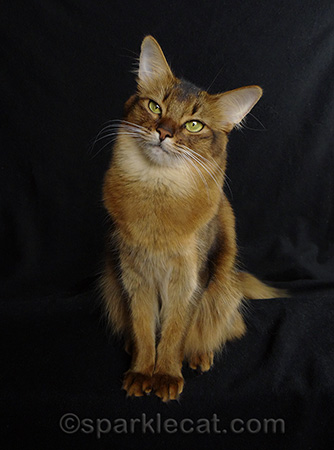 Somali cat, cat gifts, cat gift guide