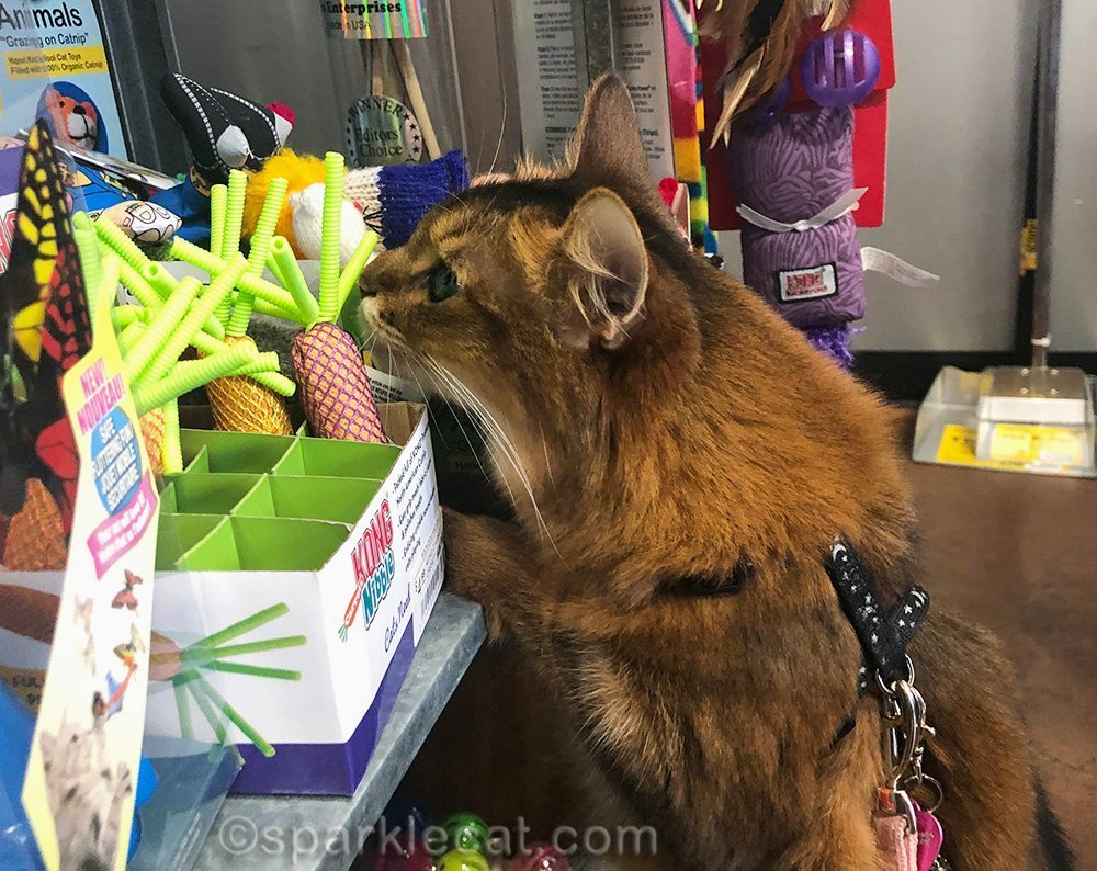 somali cat checking out nip carrots