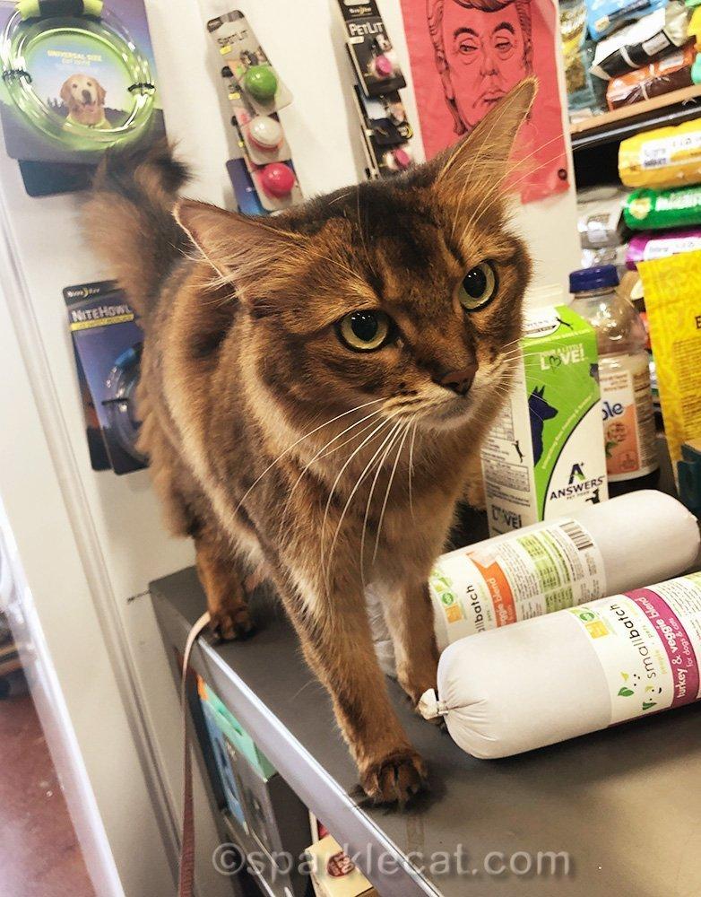 somali cat on counter at pet shop