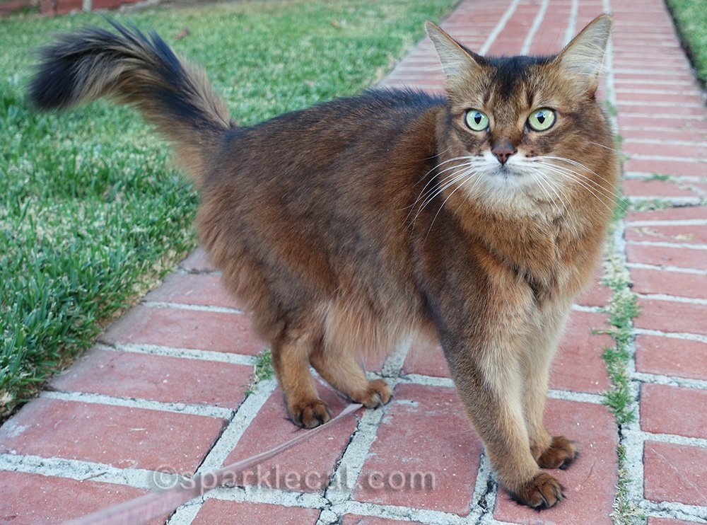 Somali cat on walkway in front of house
