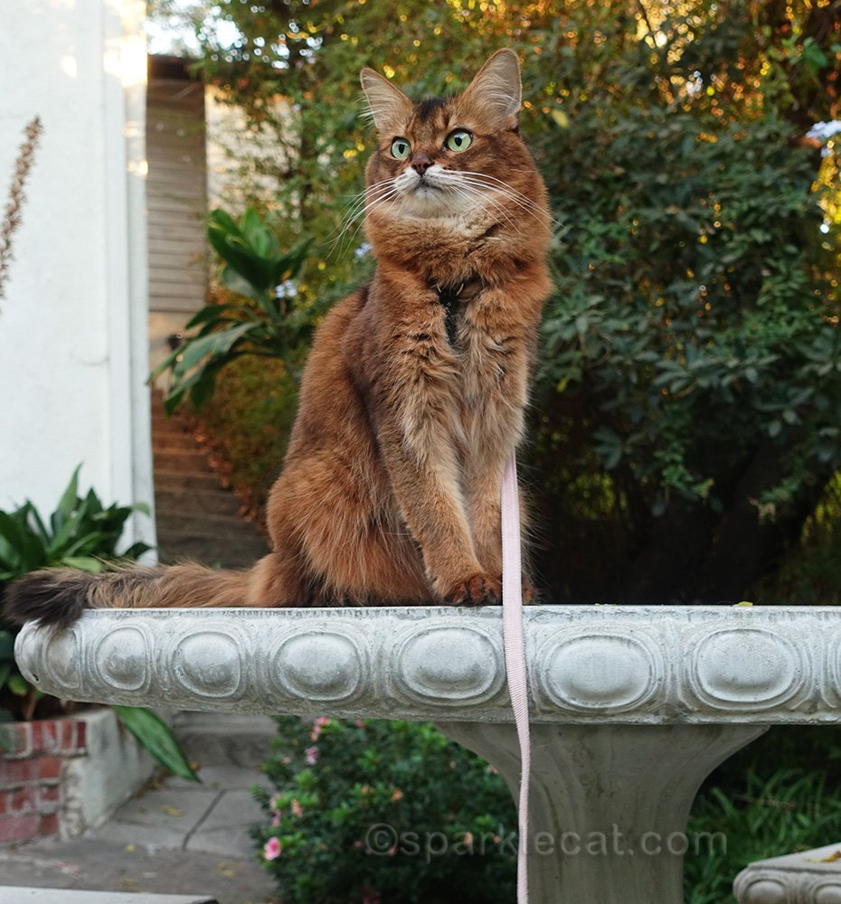 somali cat striking a pose on the concrete table