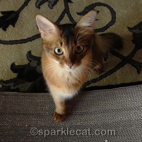 Flashback Friday of somali kitten with paw on scratcher