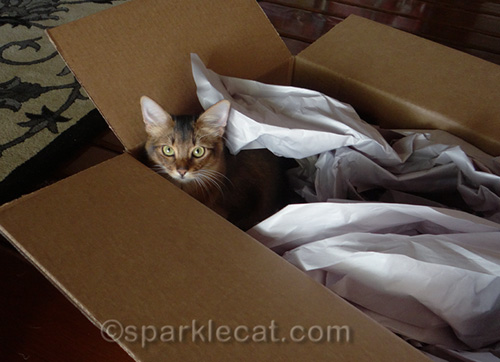 somali kitten playing in large box with packing paper