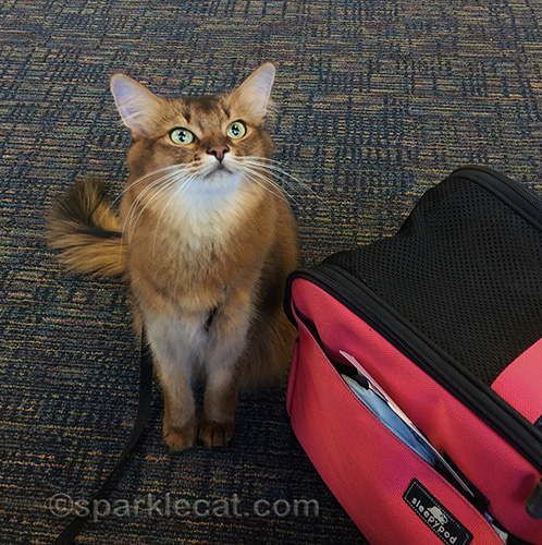 somali cat at her gate, waiting to board plan