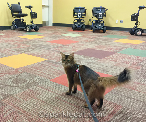 somali cat in room with motorized chairs