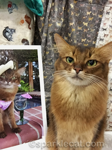 somali cat doing a selfie with a photo of herself