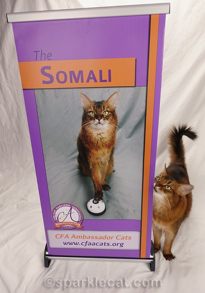 somali ambassador cat rubbing on her own banner