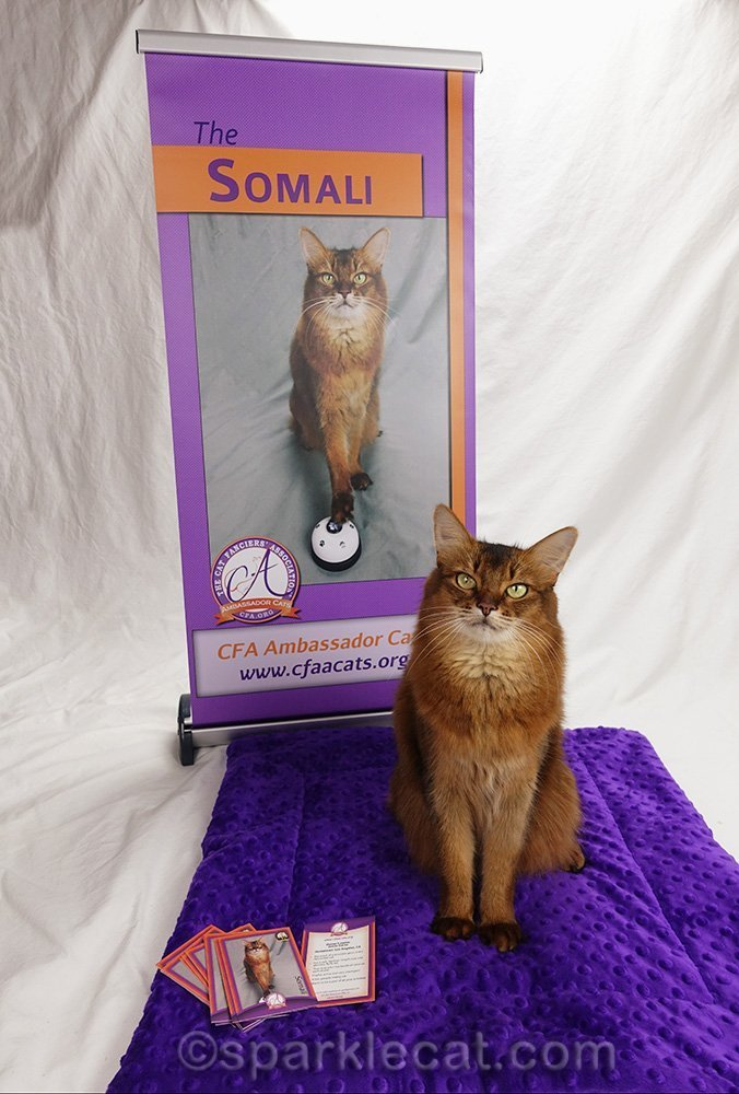 somali Ambassador Cat with banner, pad and trading cards
