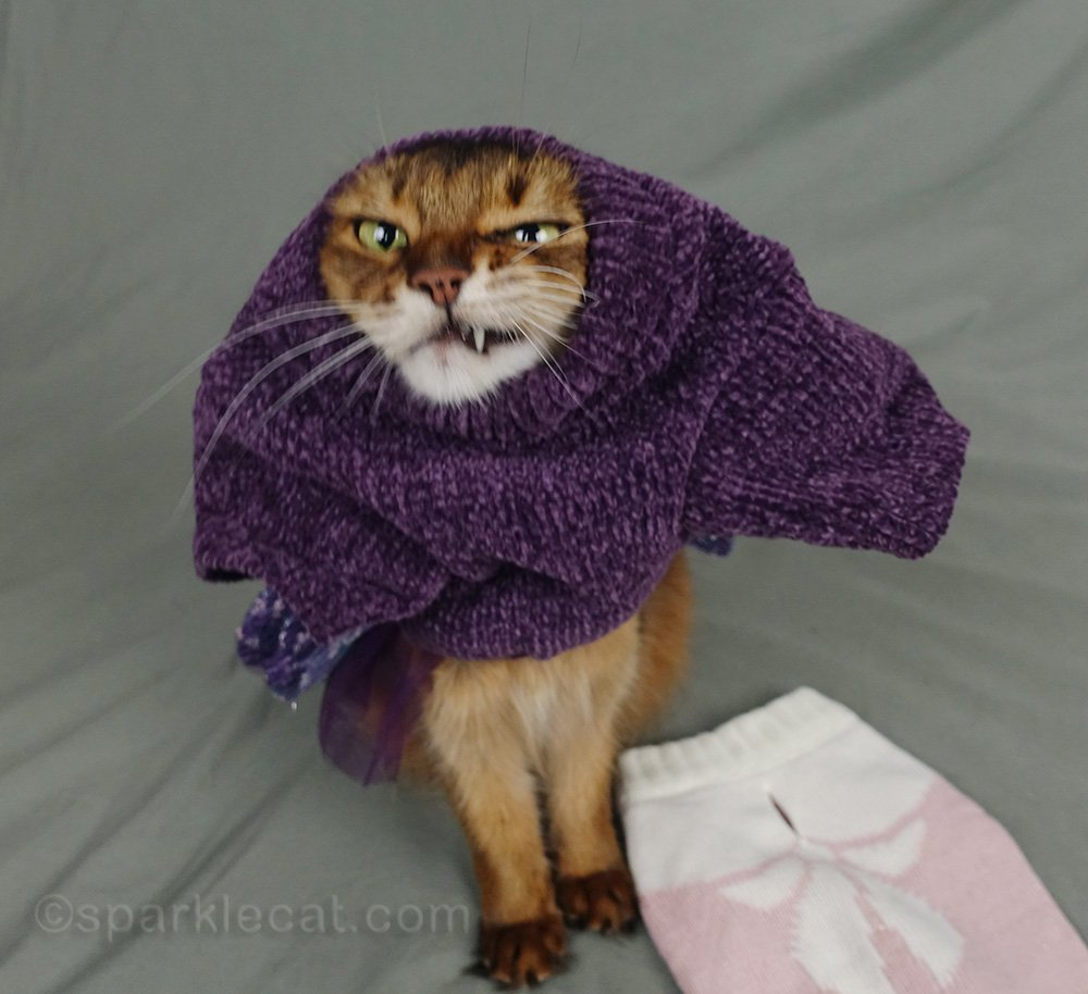 somali cat making face while putting on sweater dress