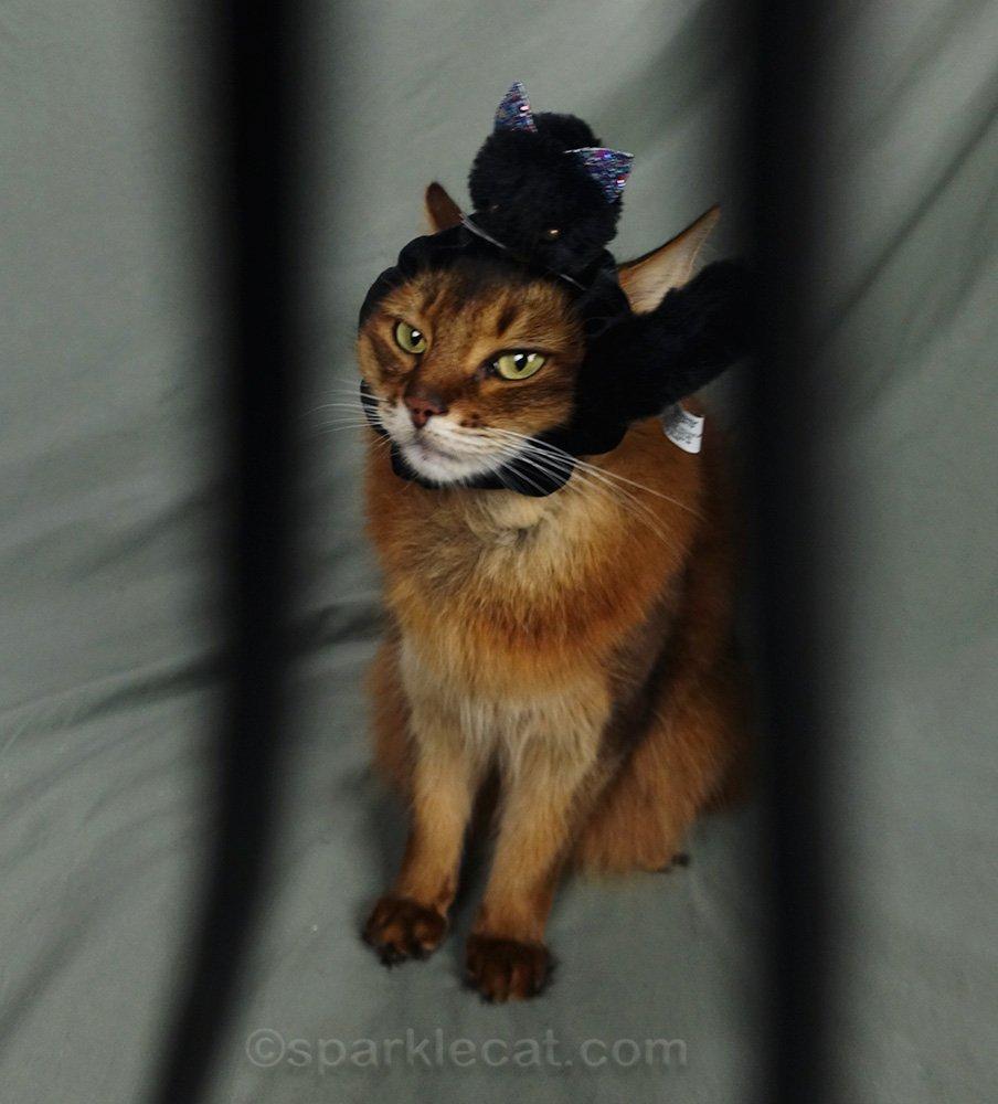 somali cat in studio with camera strap