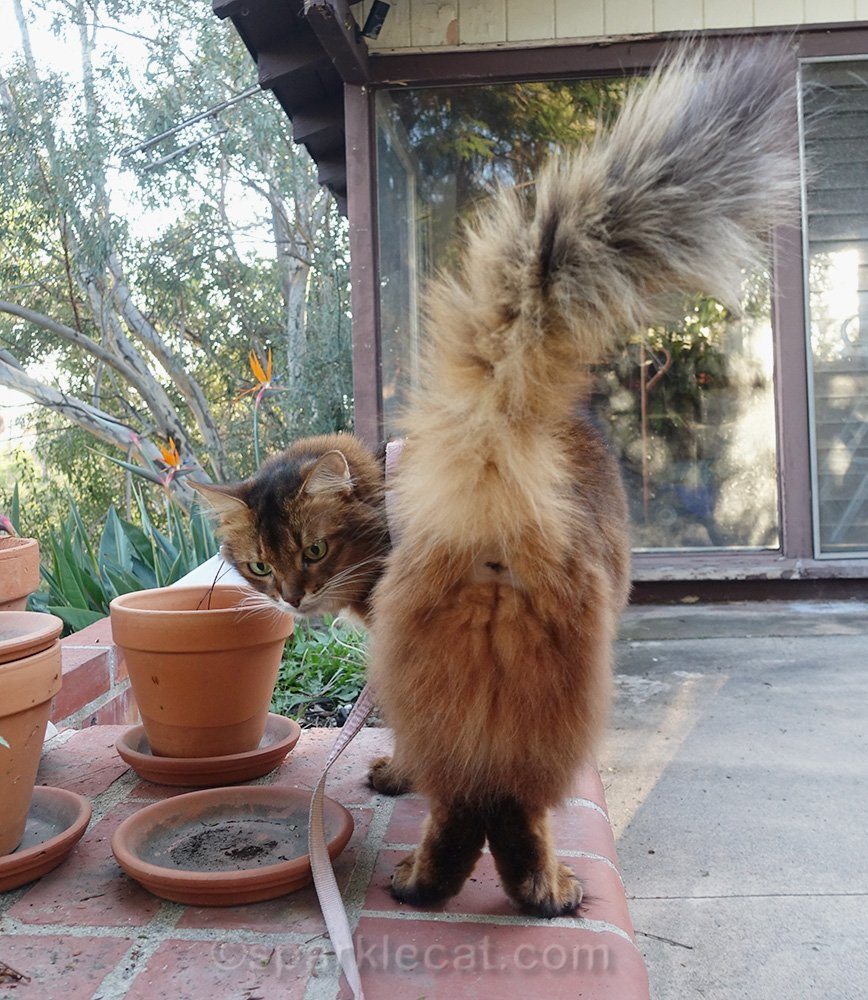 somali cat from behind