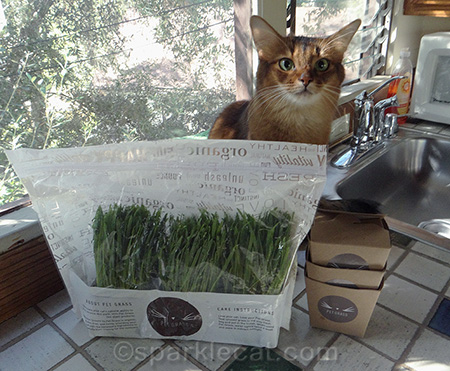 Somali cat, Whisker Greens, pet grass, cat grass