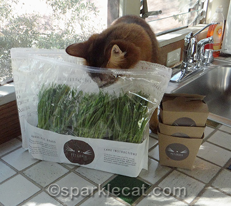 cat grass, Whisker Greens, Somali cat, supervising cat