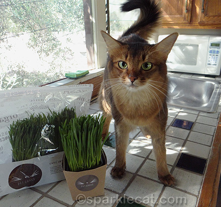 Somali cat, whisker greens, whisker greens container, pet grass