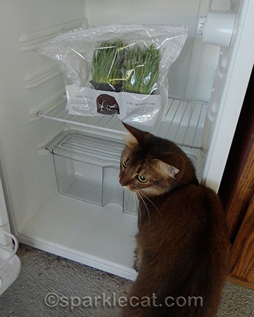 cat grass, Whisker Greens, refrigerated cat grass, somali cat
