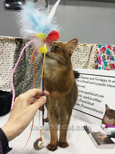 somali cat with pretty new toy