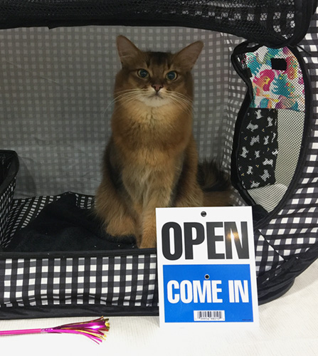 somali cat with open sign