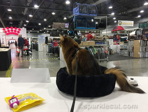 somali cat looking at the Meow Mall