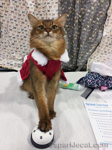 somali cat in santa jacket ringing a bell