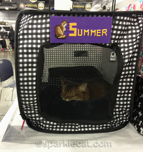 somali cat resting during a cat show