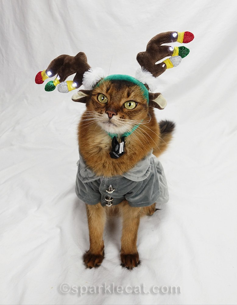 somali cat with gray jacket and crooked reindeer headband