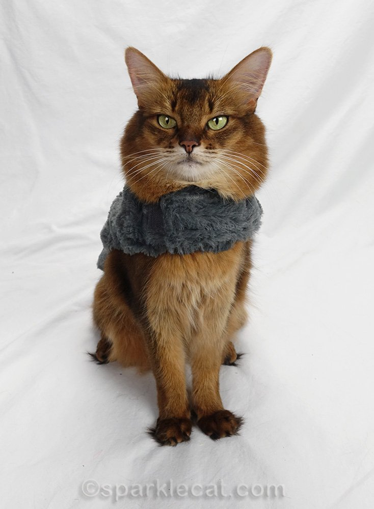 Somali cat wearing bottom half of outfit