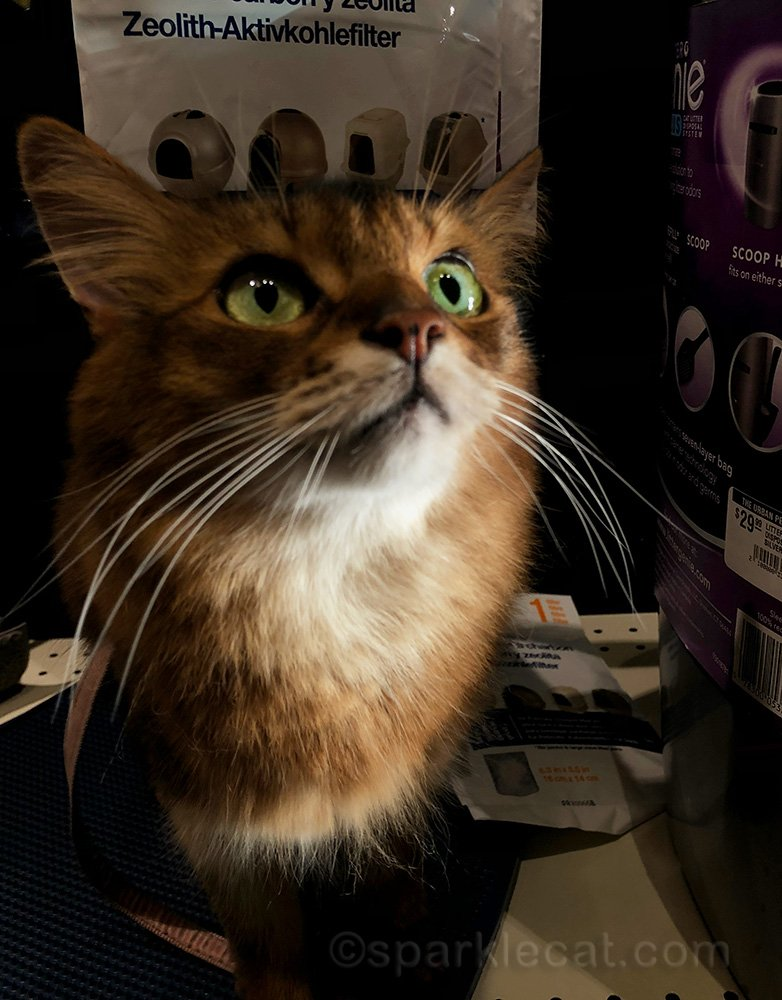 somali cat on a pet shop shelf
