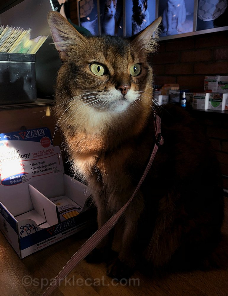 somali cat on checkout counter at pet shop