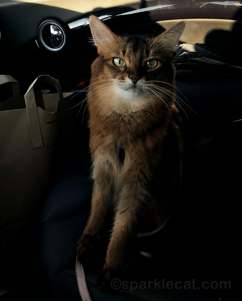 somali cat in car after shopping at pet shop