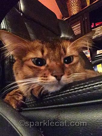 somali cat, cat close up, cat selfie