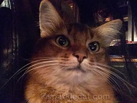 somali cat, cat selfie