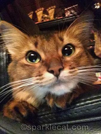 somali cat, cat smile, cat selfie