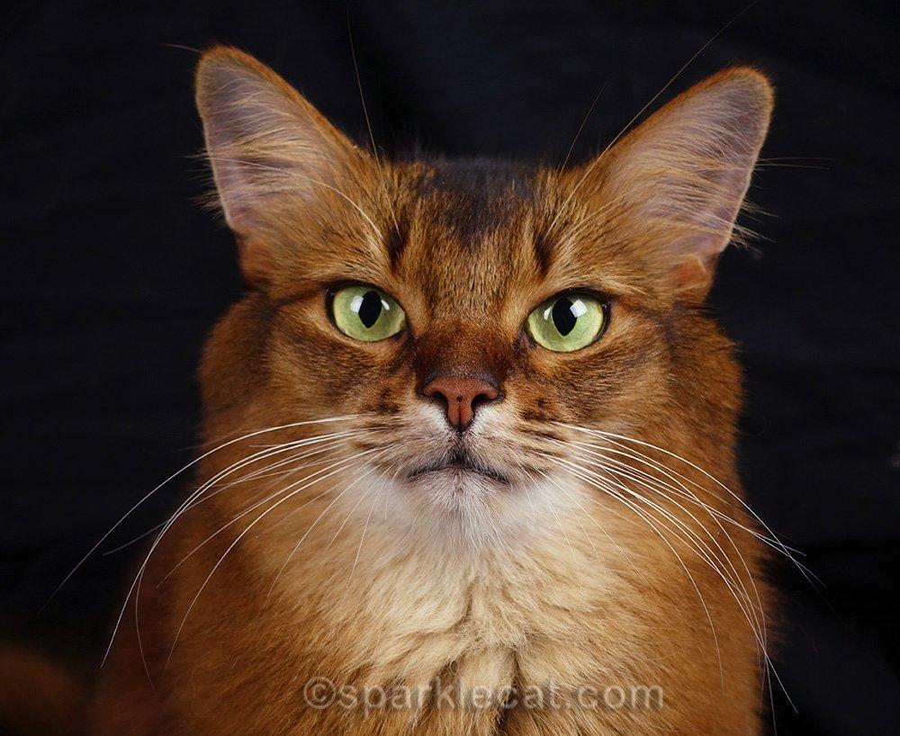 close up of Somali cat