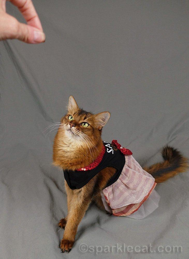 festive flashback outtake of somali cat