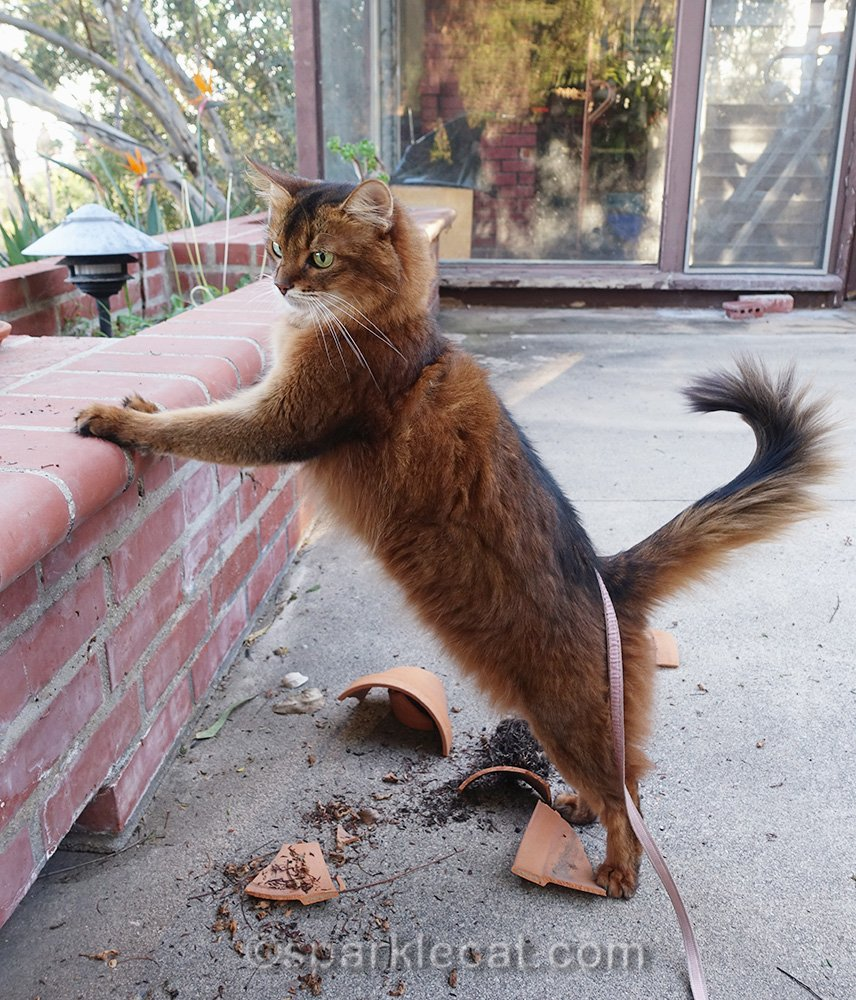 somali cat annoyed by wreckage squirrels left