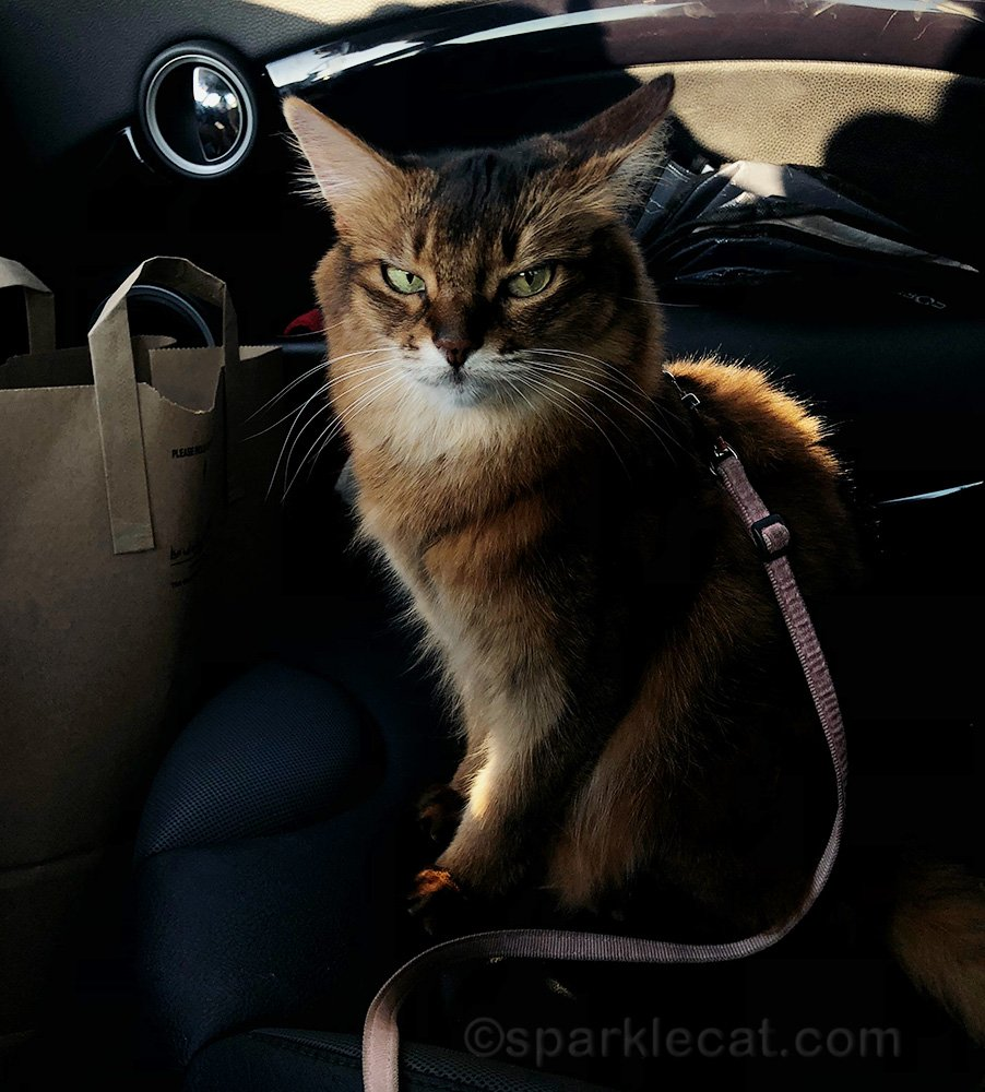 somali cat in car with side eye