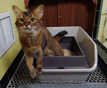 somali cat, litter box, cat in litter box