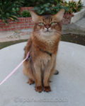 somali cat sitting on outdoor concrete table