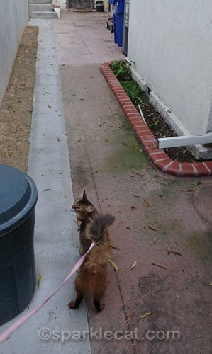 somali cat on path around side of house