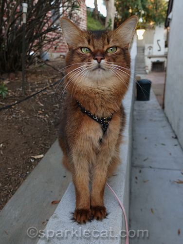 somali cat on wall, looking dubious