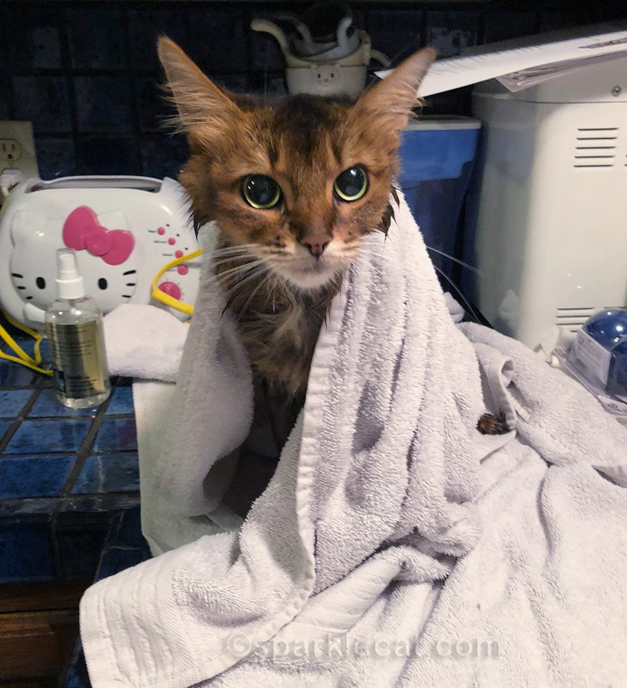 somali cat getting dried after bath