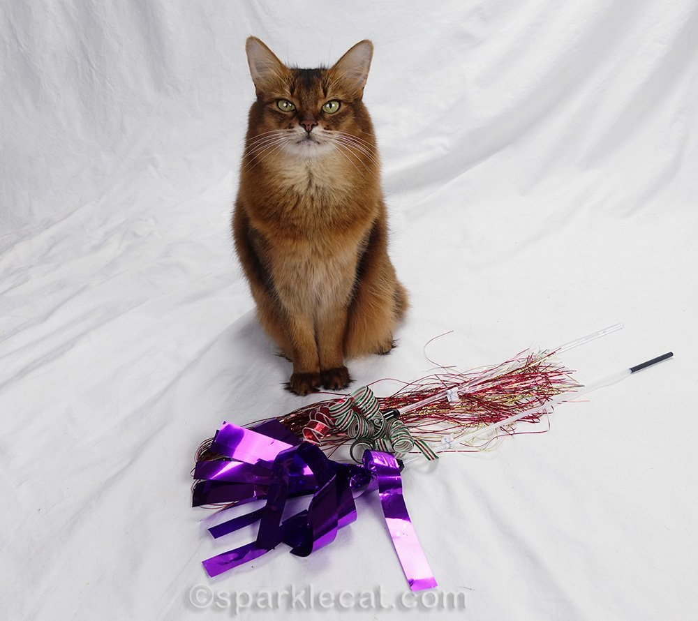 somali cat with new toys