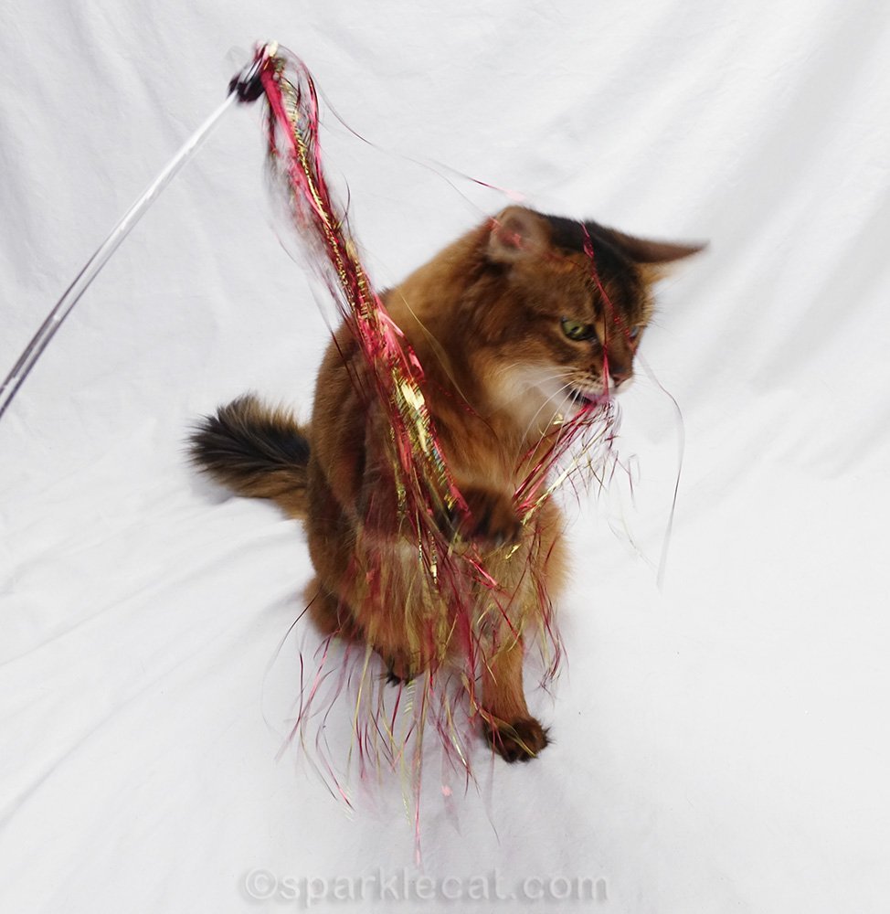 somali cat playing with new cat toy