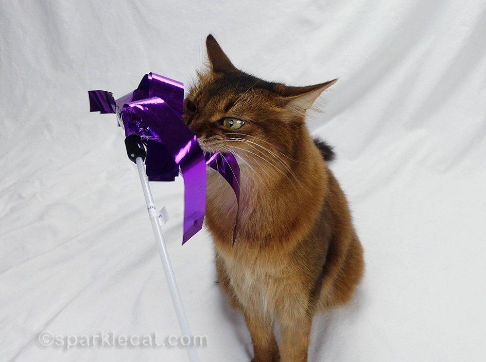 somali cat chomping on cat toy